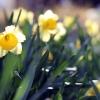 daffodils425